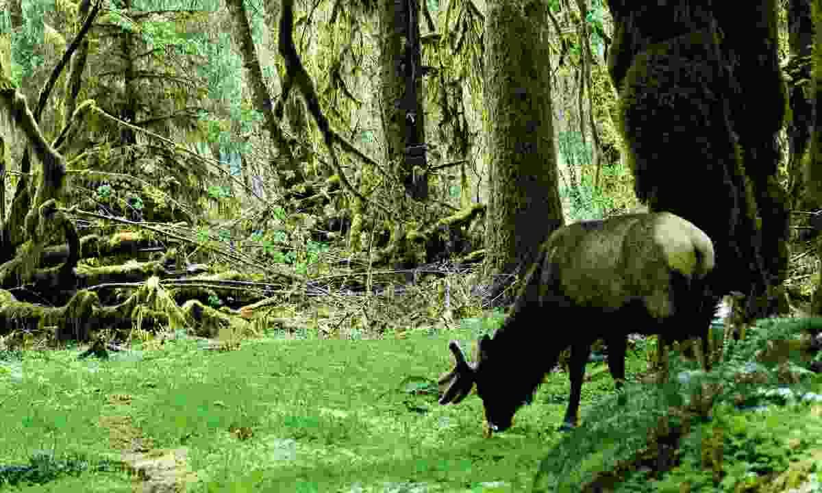 Elk (Dreamstime)