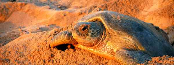 Green sea turtles in Oman (Shutterstock)