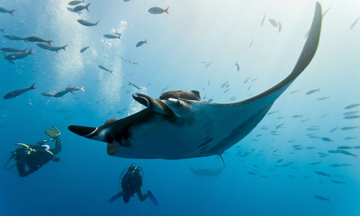 Dive with manta rays (Shutterstock)