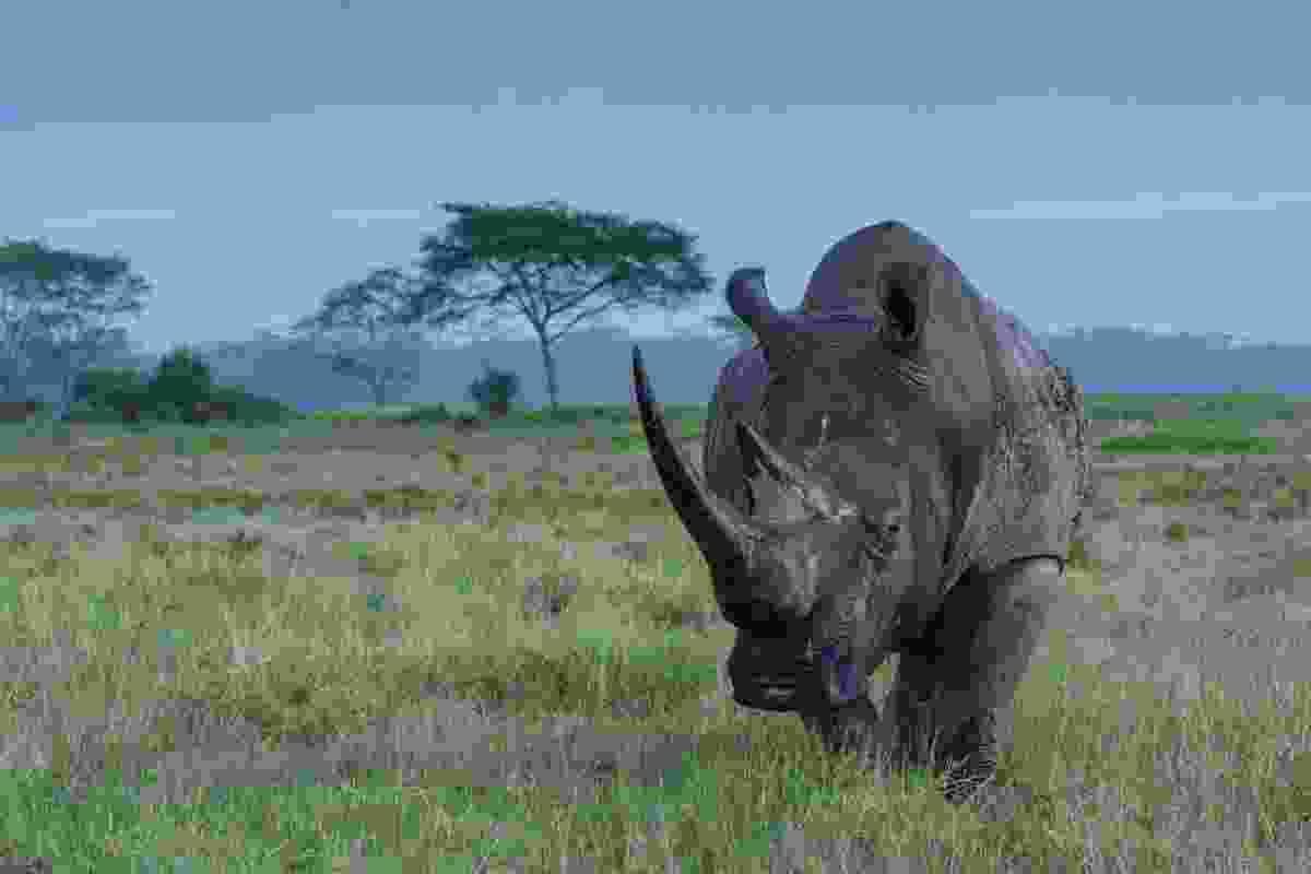 Black rhino in the Masai Mara (Shutterstock)