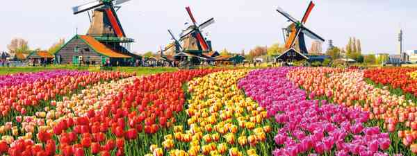 Tulips from just outside Amsterdam (Shutterstock)