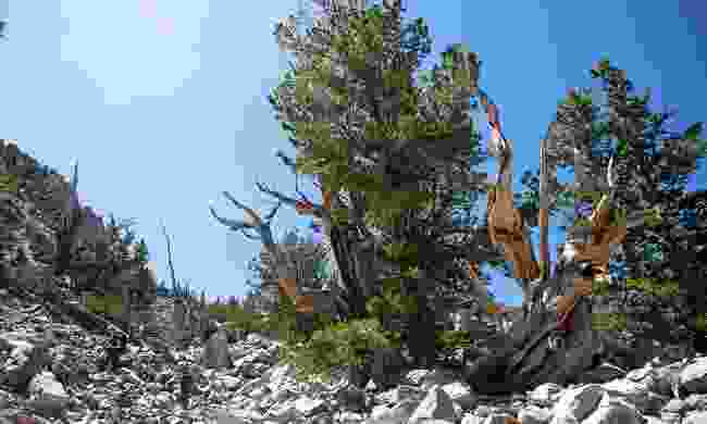 Bristlecone trail in Great Basin National Park (Sydney Martinez, TravelNevada)