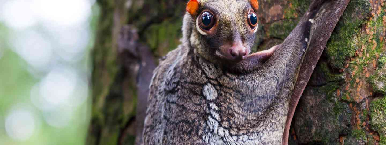 A colugo in the wild (Shutterstock)