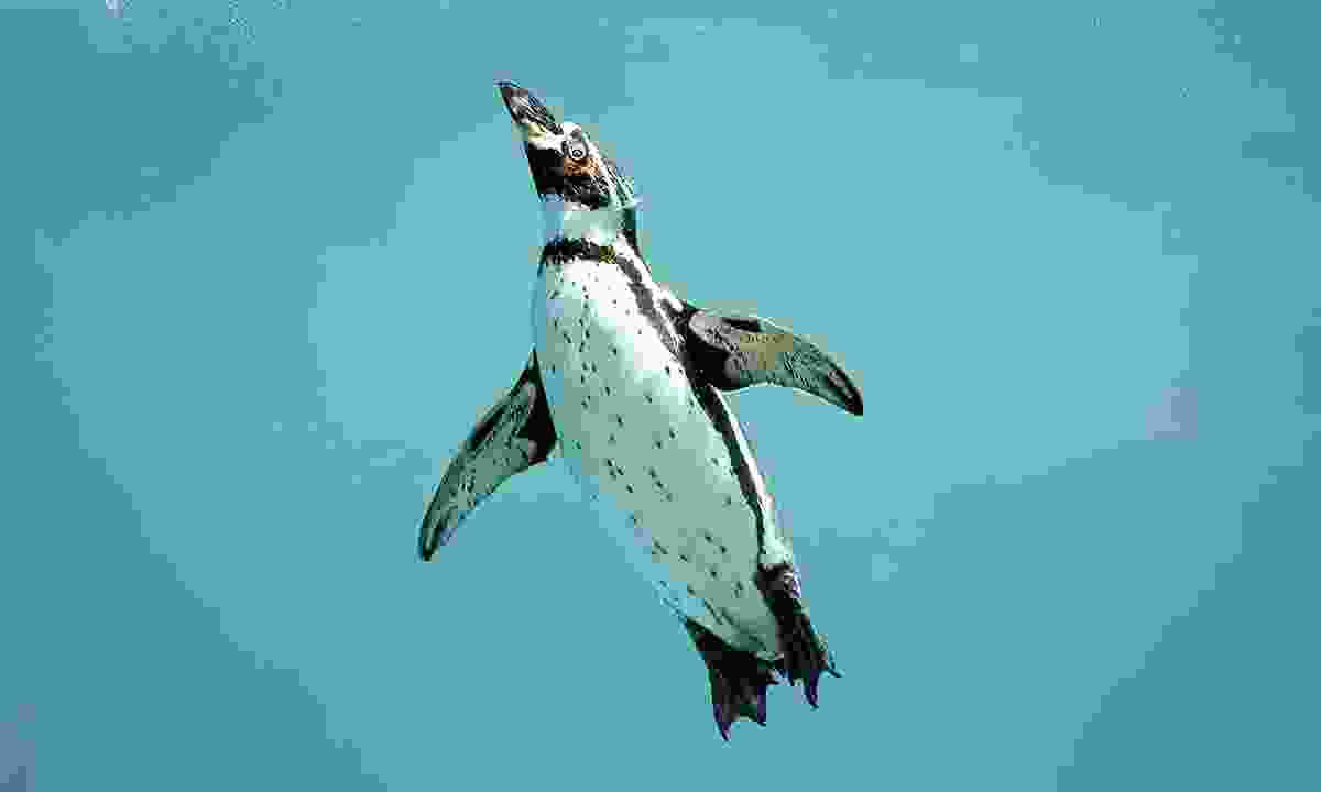 Humboldt penguins have two layers of feathers in order to stop their skin from becoming soaked when in the water (Dreamstime)