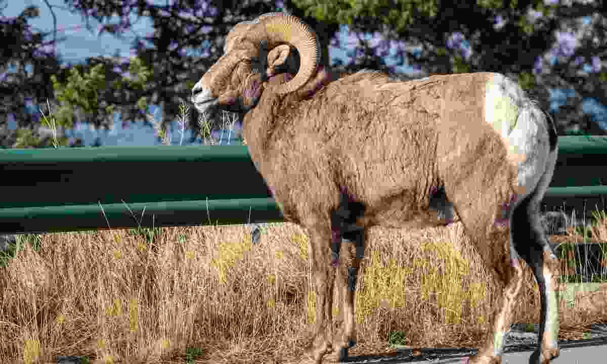 A bighorn sheep on the road near Radium Hot Springs (Shutterstock)