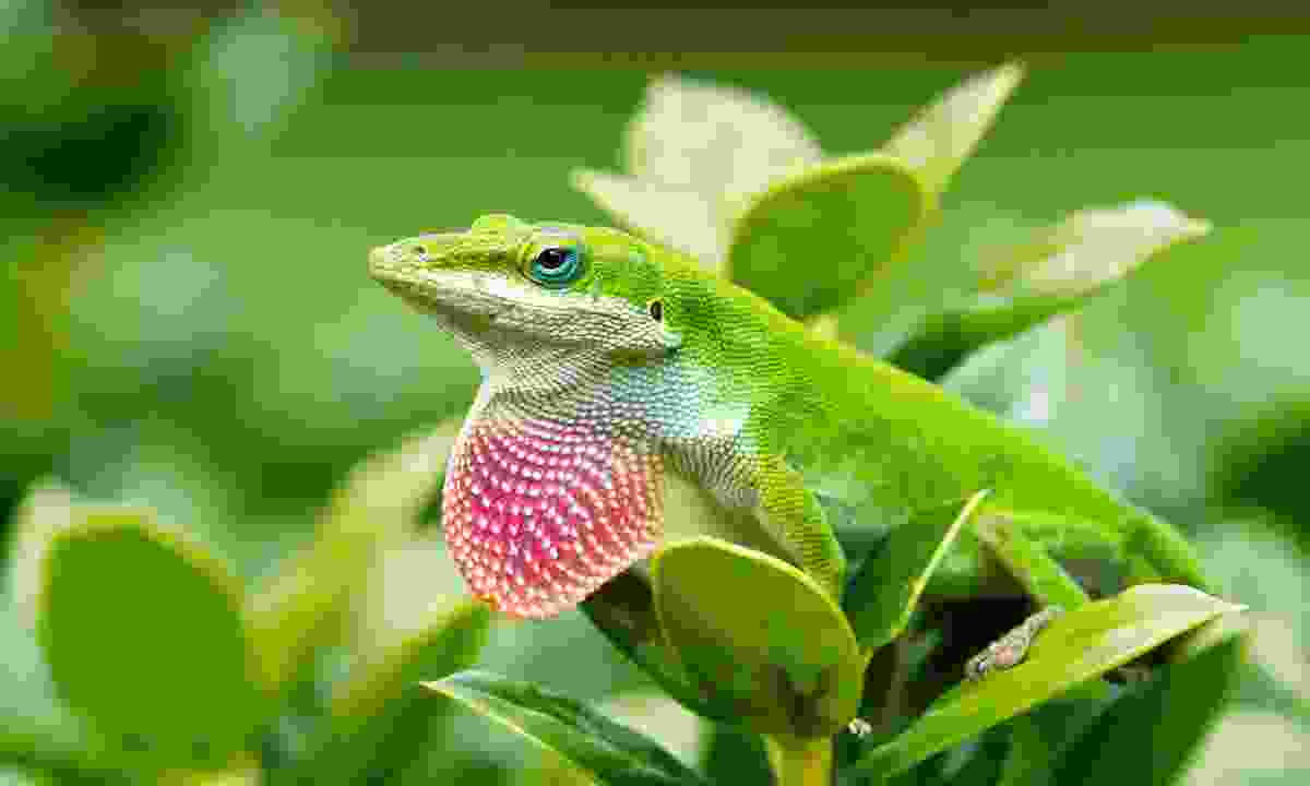 Look out for anole lizards (Shutterstock)