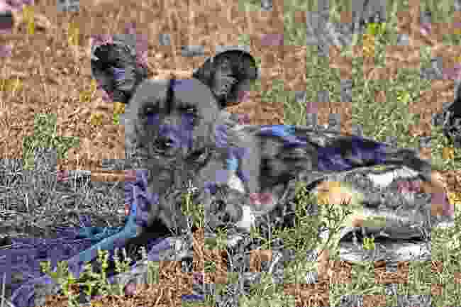 A camera-ready African wild dog spotted in Madikwe, South Africa