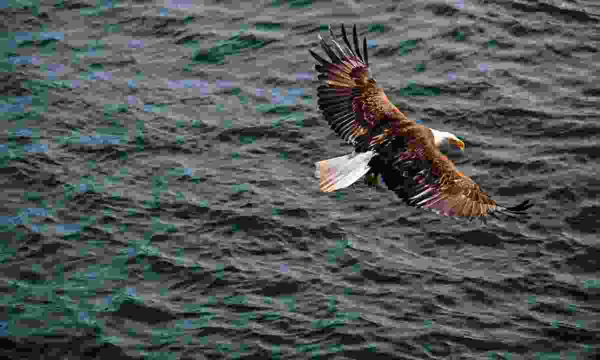 An Eagle sweeping over the water (Destination British Columbia)
