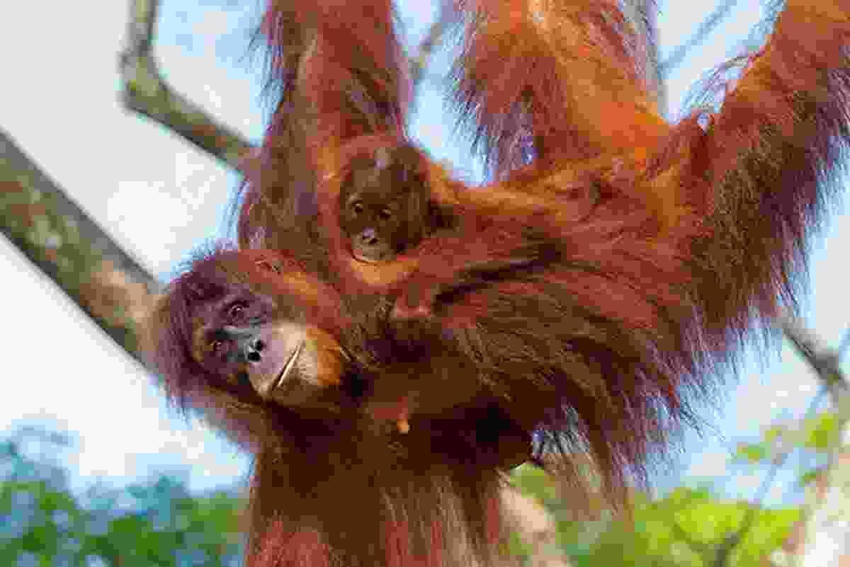 Orangutans swinging in Borneo (Shutterstock)