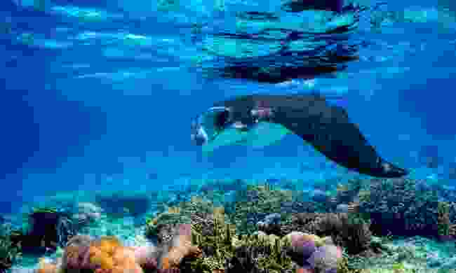 Manta ray. (Dreamstime)