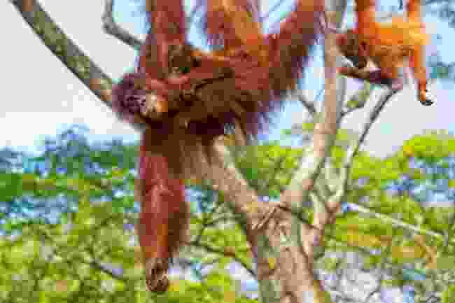 Orangutans. (Dreamstime)