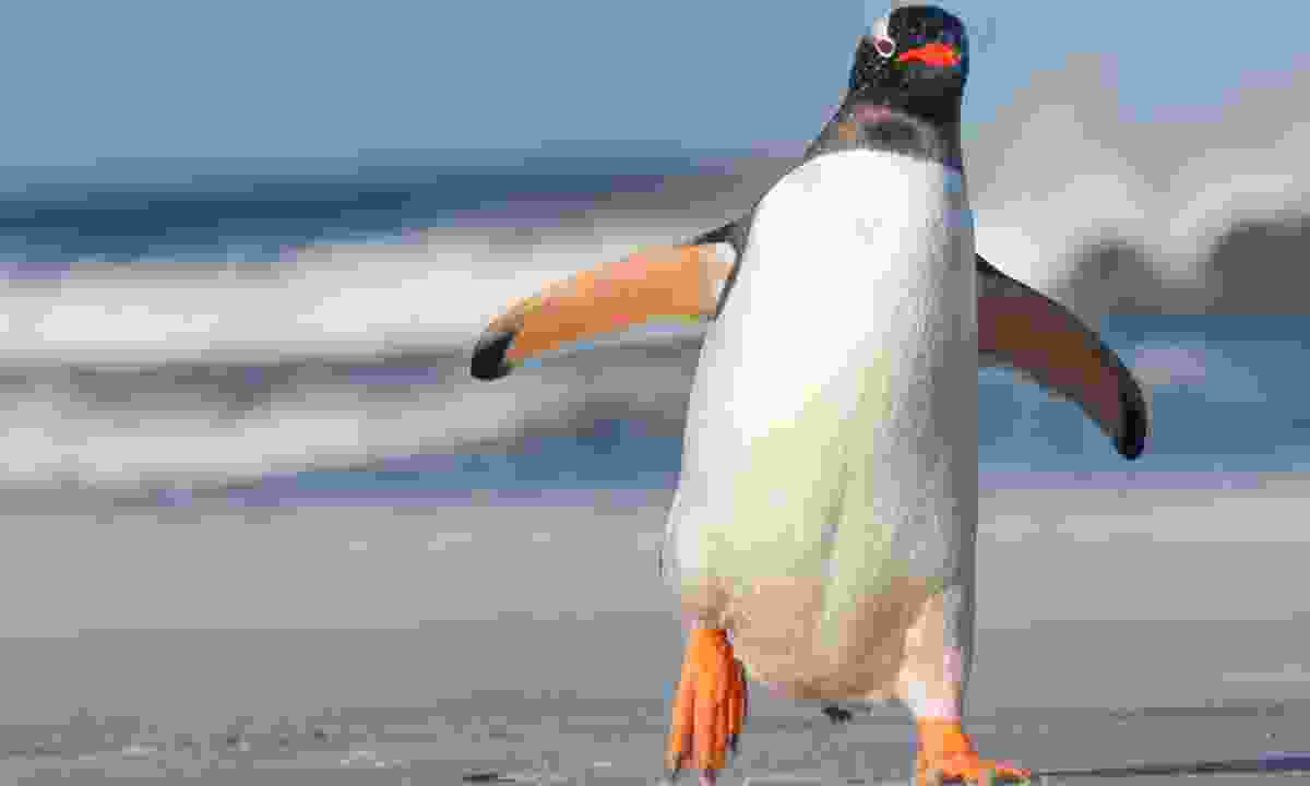 Gentoos are the fastest penguin species in the water, reaching speeds of up to 36km/h, but are much more awkward on land (Dreamstime)