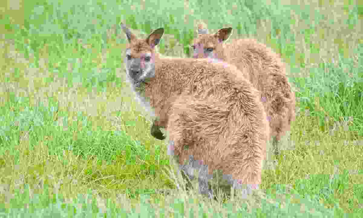 Wallabies spotted on the island of Inchconnachan, Scotland (Dreamstime)