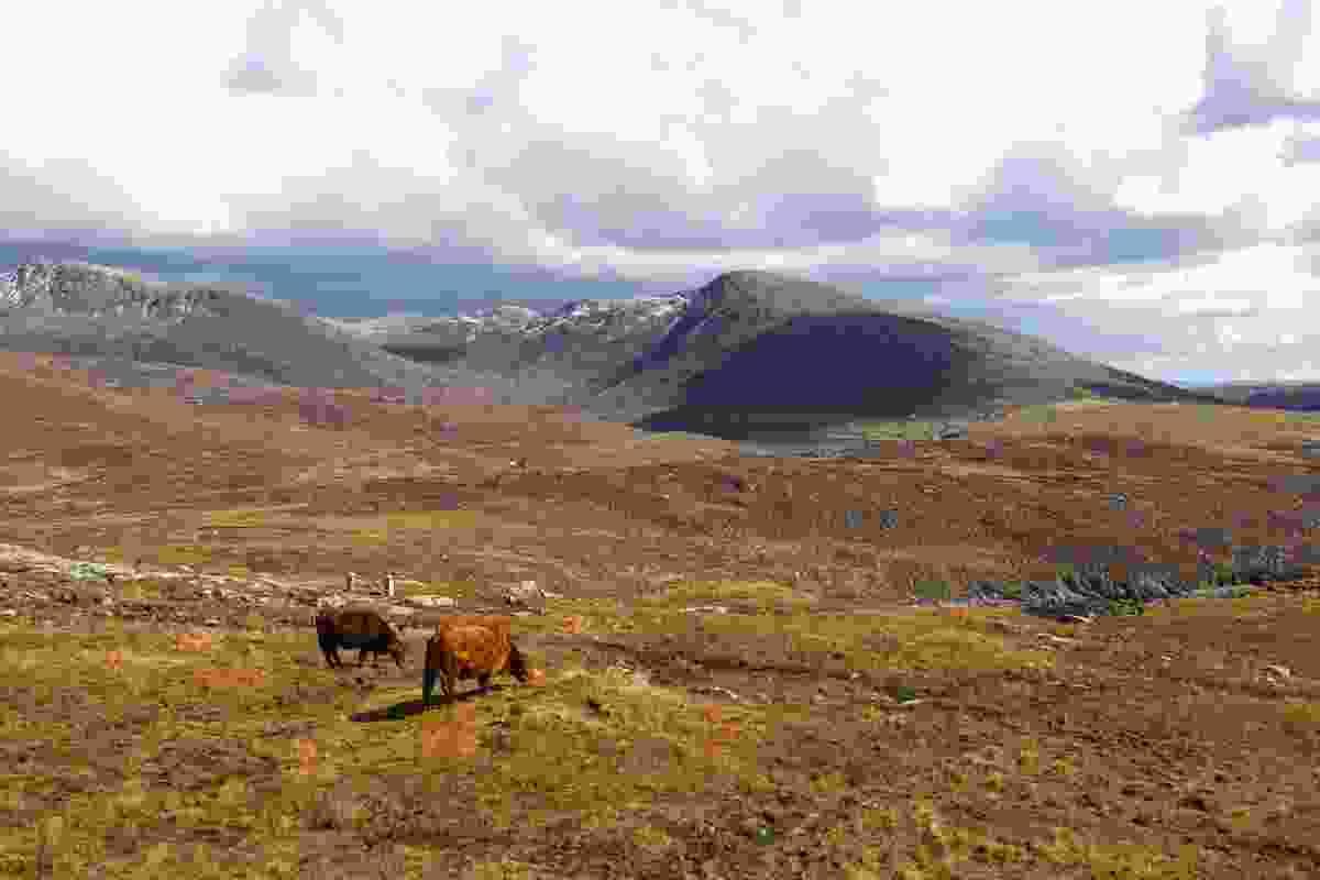 Highland cows on the high coastal hillside of North Harris (Graeme Green)