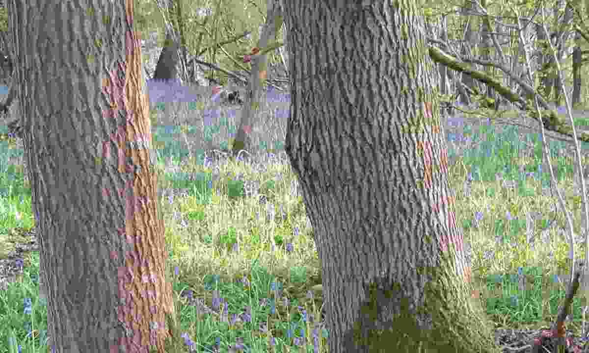 Clanger & Picket Woods; Westbury, Wiltshire