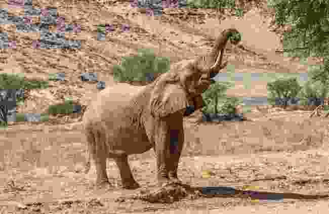 A Namibian desert elephant grazing (Shutterstock)