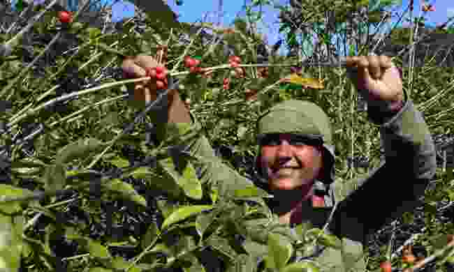 A coffee farmer picks coffee beans (Shutterstock)