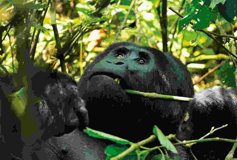 Track gorillas and primates in Bwindi, Uganda (Rainbow Tours)
