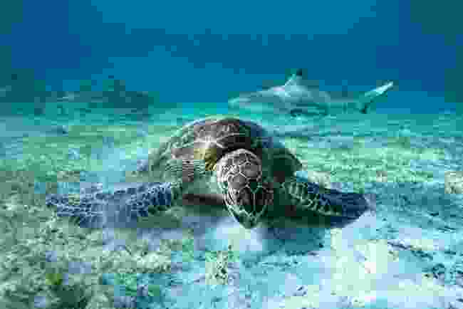 A green turtle grazes on seagrass in a bay off Misool, one of the Indonesian Raja Ampat islands (© Roger Horrocks)