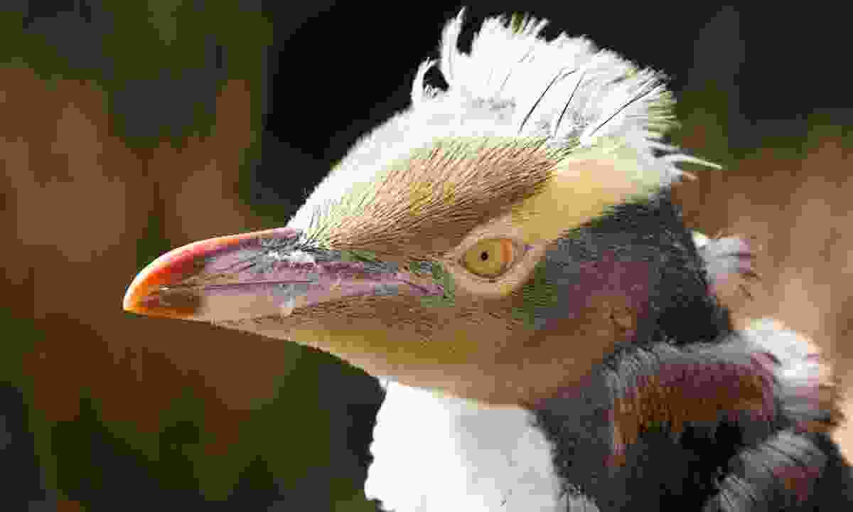 Yellow-eyed penguins are the most endangered penguin species, with only 3,400 individuals remaining (Dreamstime)