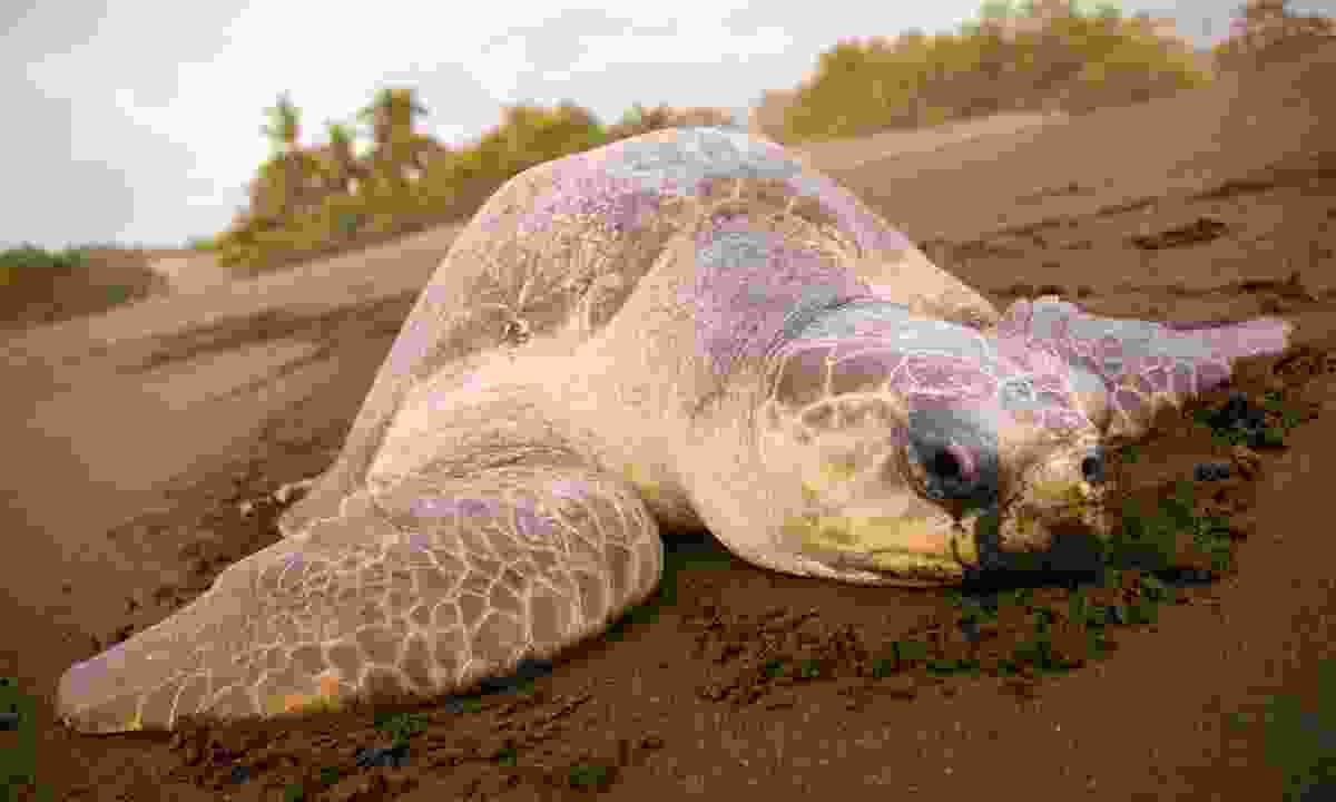 See turtles coming ashore to nest at Nancite Biological Station