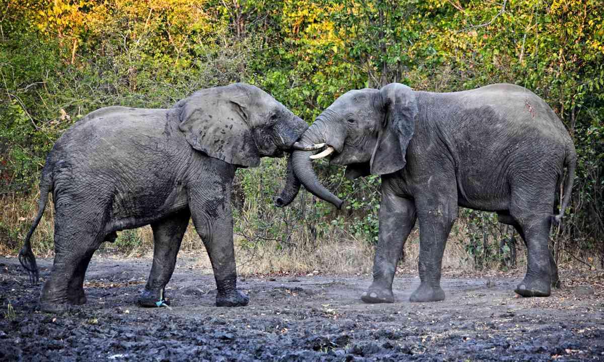 Elephants tussling in Liwonde National Park (Dreamstime)