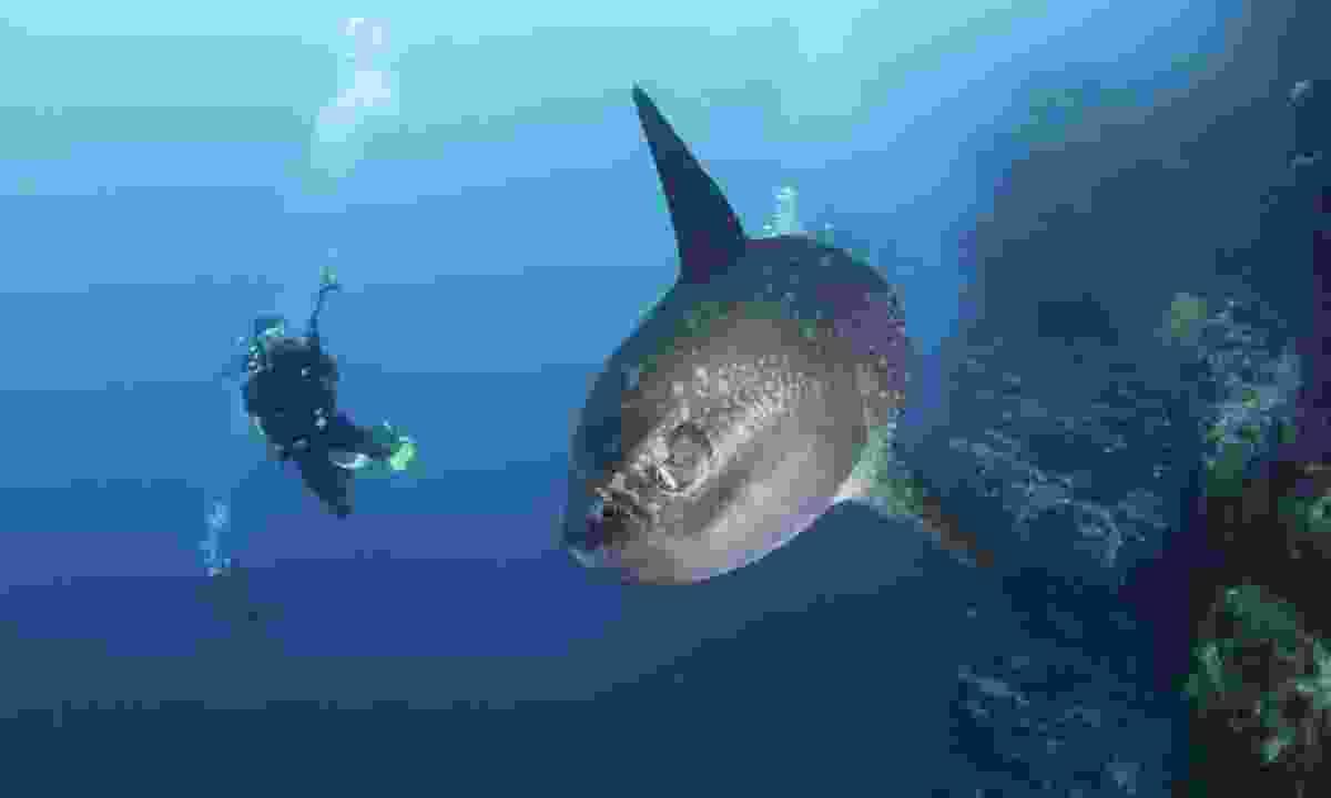 Sunfish. (Shutterstock)