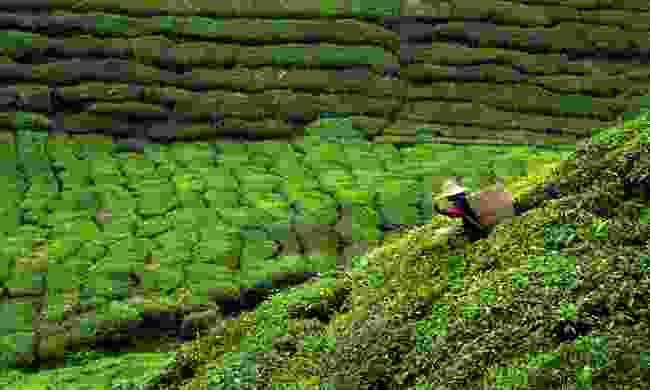 Picking tea leaves on a tea plantation in Sri Lanka (Shutterstock)