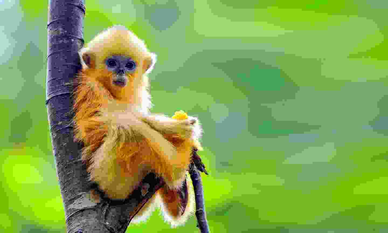 A baby golden snub-nosed monkey in Sichuan (Shutterstock)