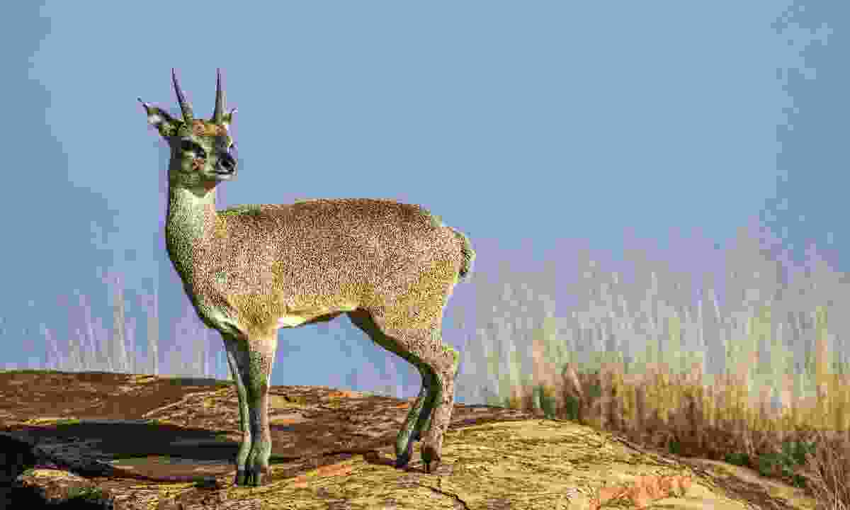 This klipspringer antelope may look cute, but it can be very dangerous when defending itself (Dreamstime)