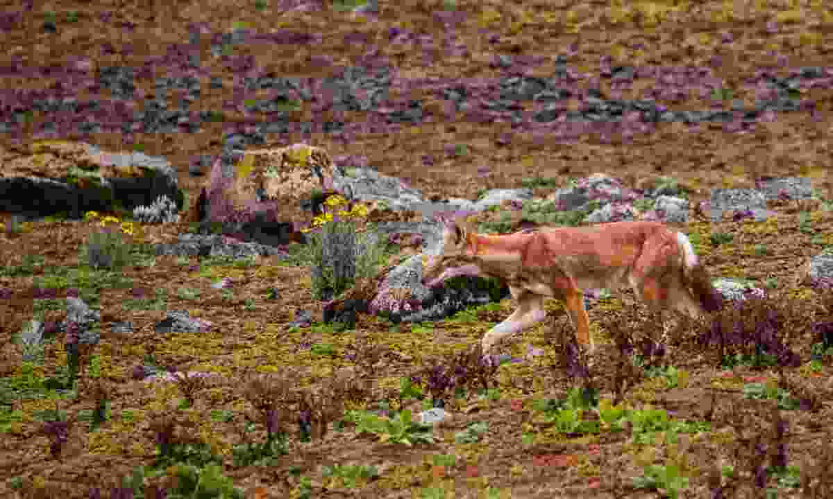 Ethiopian wolf hunting in Bale Mountains NP (Dreamstime)
