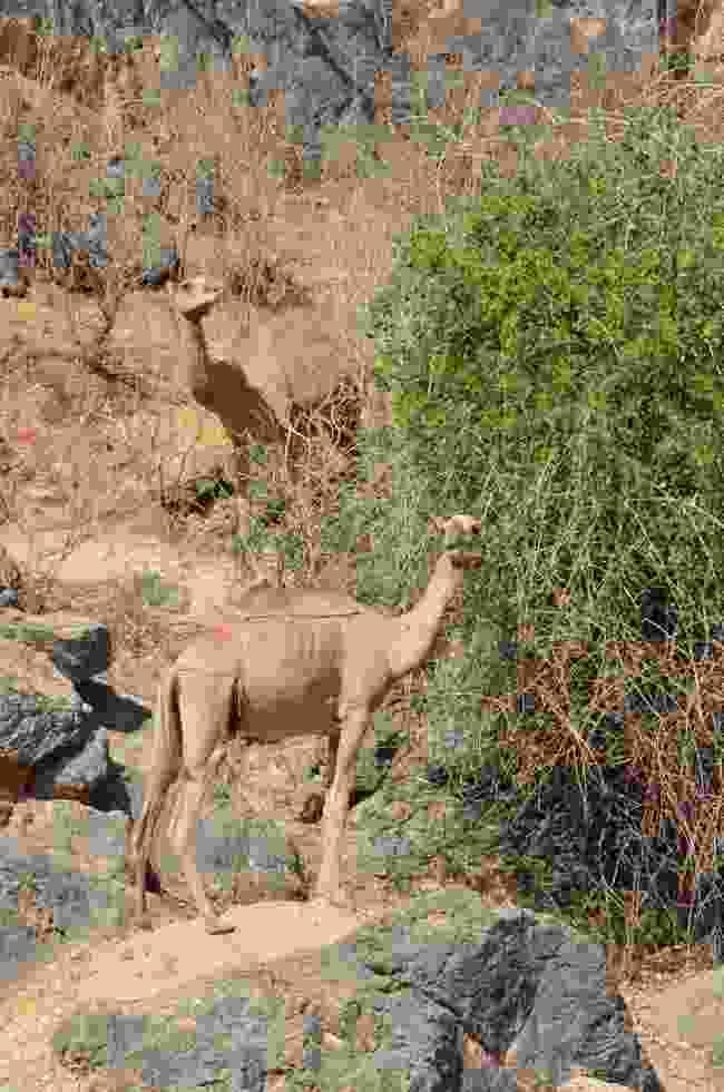 Two camels enjoy a meal at Ayne Razat public gardens (Phoebe Smith)