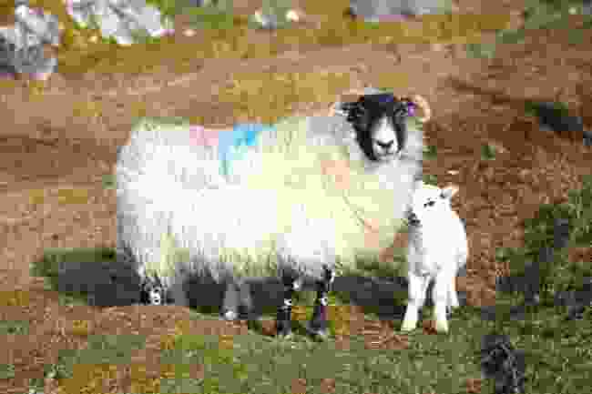 Hardy local sheep and lamb (Graeme Green)