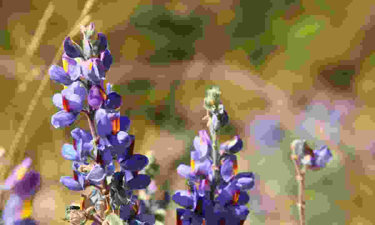 Brightly coloured lupins line the slopes, coating it in a beautiful violet carpet (Paul Bloomfield)