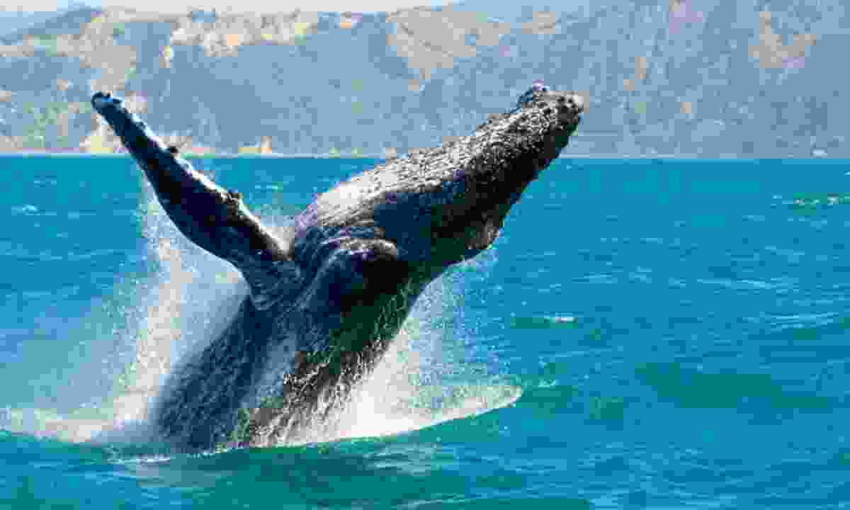 Humpback whale in Kaikoura, New Zealand (Shutterstock)