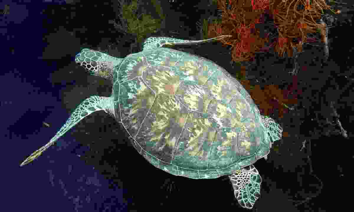 Green sea turtle in Sipadan. (Dreamstime)