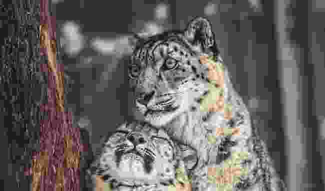 A snow leopardess with her cub (Shutterstock)