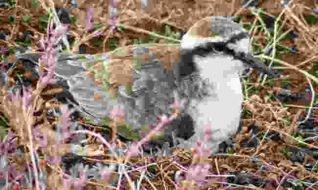 St Helena's endemic wirebird (St Helena Tourist Board)