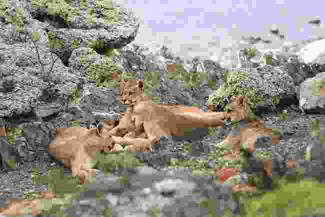 Sarmiento and her cubs (Phoebe Smith)