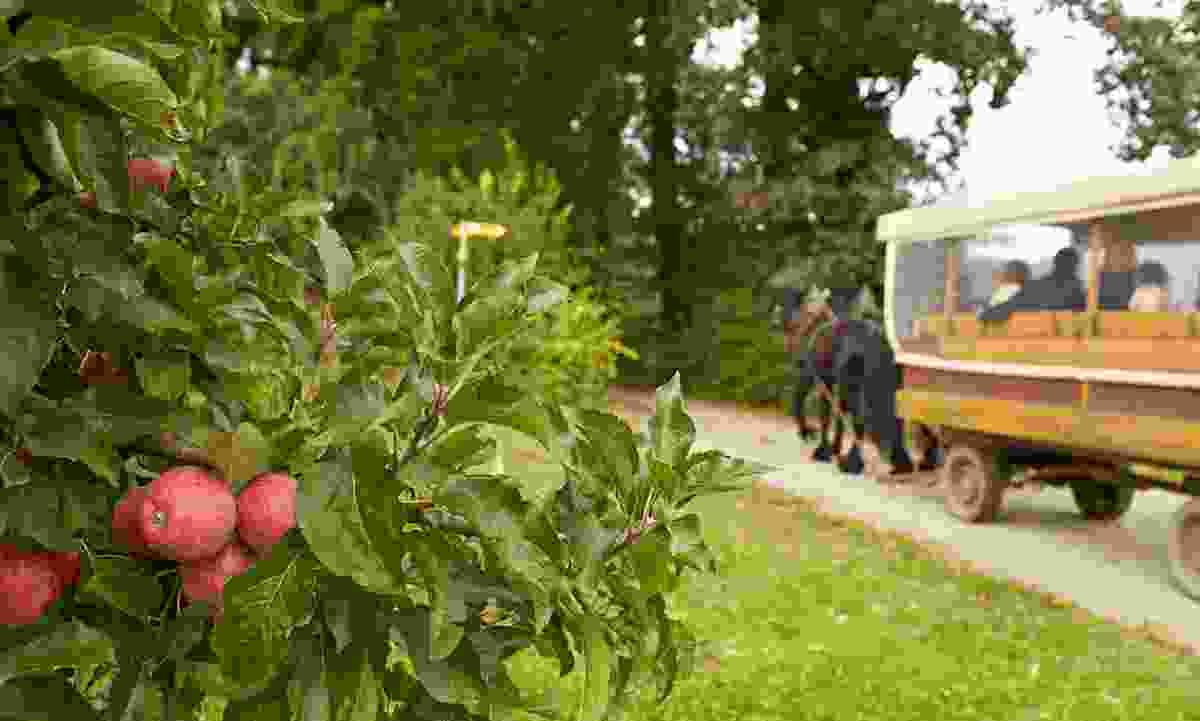 Enjoy apple harvest in Autumn (Tourist Information Immenstaad)