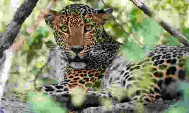 Female leopard in Yala national park (Shutterstock)