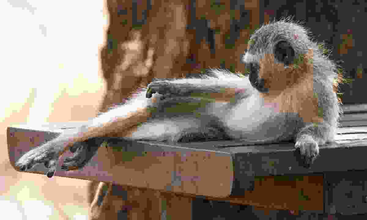 Saving your sarnie isn't worth a scratch from one of these picnic table-hogging vervet monkeys (Dreamstime)