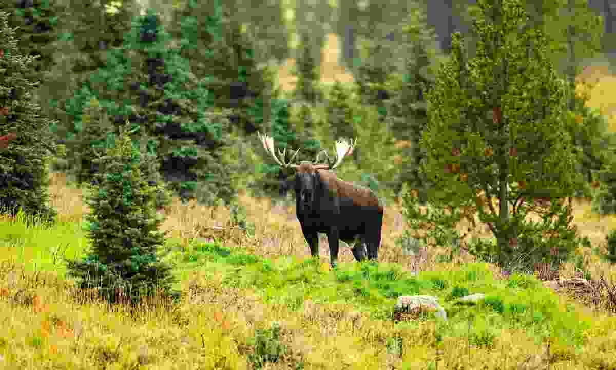 The elusive moose (Dreamstime)