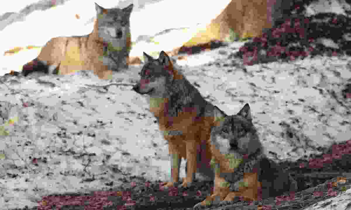 Grey wolves in Romania (Dreamstime)