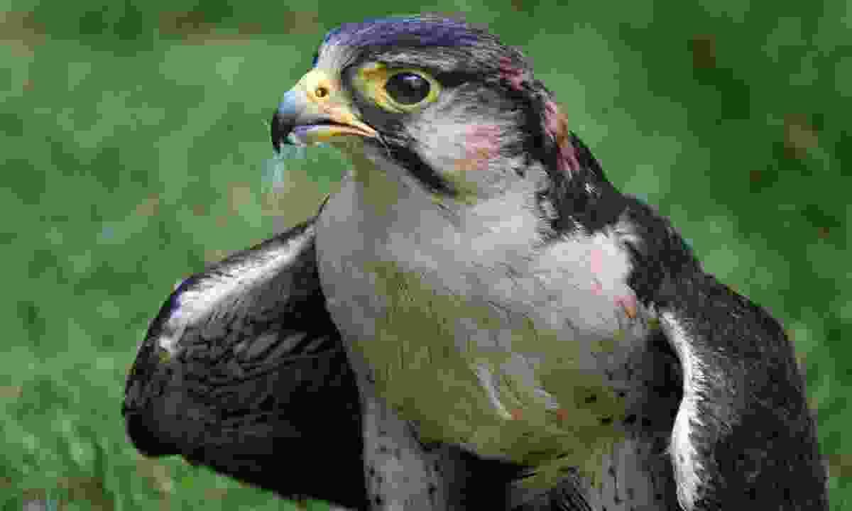 See Eleonora's falcon in Spring