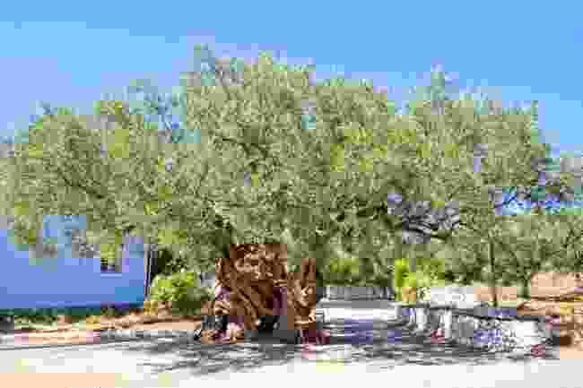1,700-year-old Greek olive tree (Shutterstock)