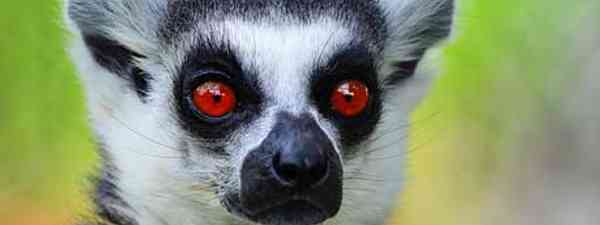 Lemurs can transmit rabies, just like dogs, cats and monkeys (insane photoholic)