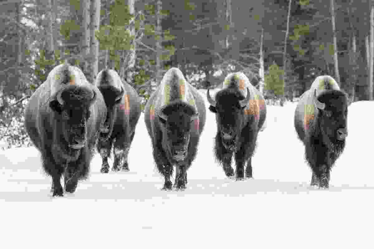 A herd of Bison, Yellowstone National Park (Shutterstock)
