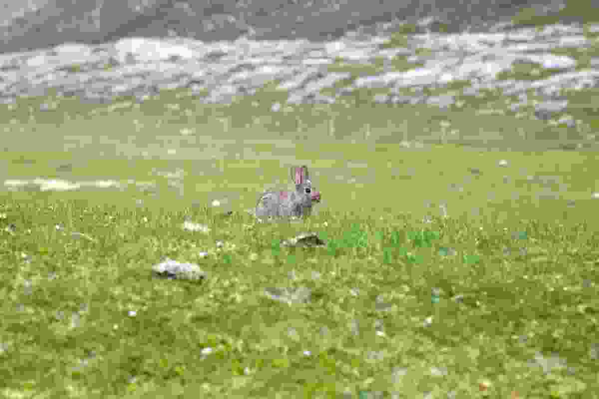 Small rabbit on the fertile machair grassland (Graeme Green)