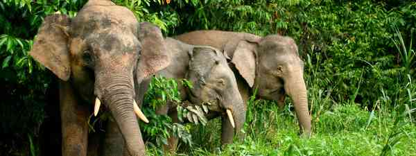 Pygmy elephants. (Dreamstime)